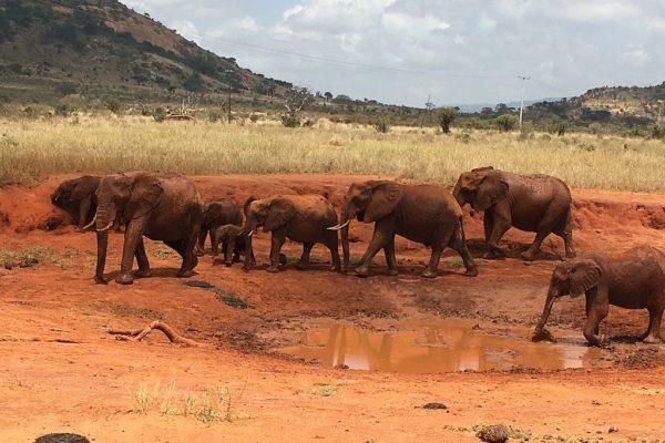 Elefanten, Safari