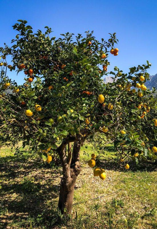 Mallorca, Besuch einer Orangen- und Zitronenplantage bei Soller